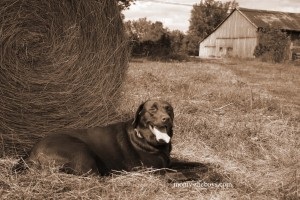 Riley with barn back field sepia  copy