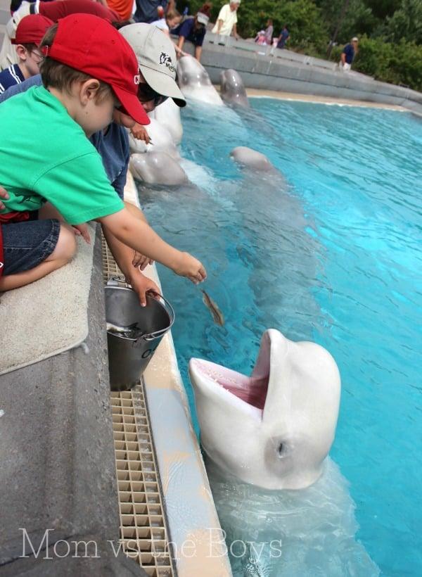 G feeding beluga
