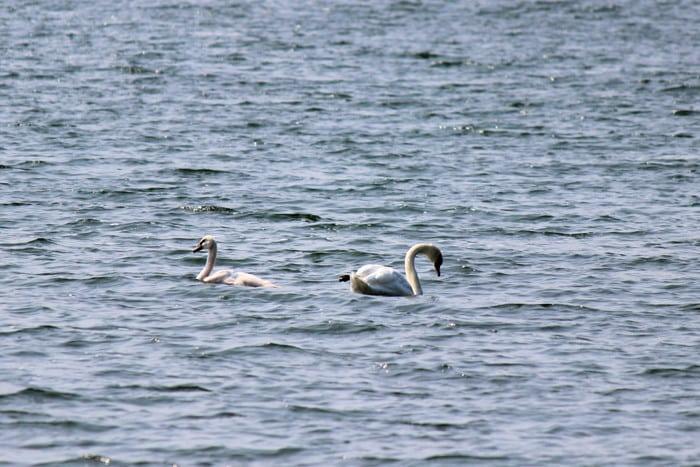 swans700