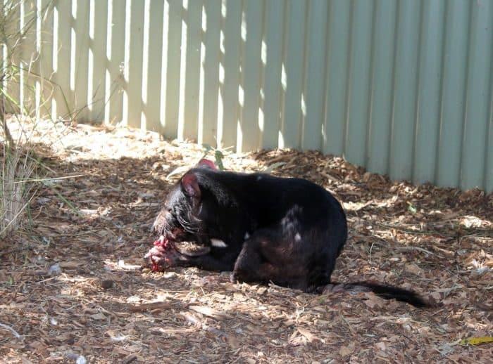 Featherdale Wildlife Park - Tasmanian Devil