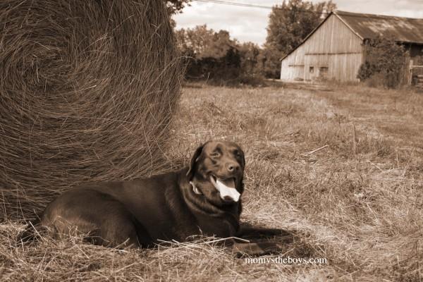 Riley with barn back field sepia  copy