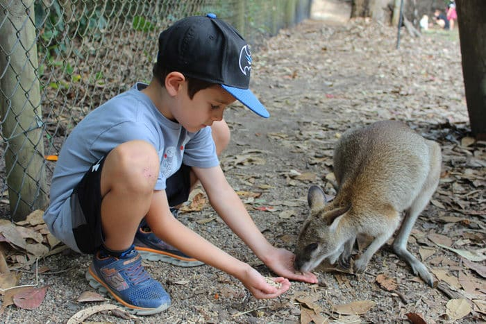 feeding kangaroo at Hartleys Crocodile Adventure