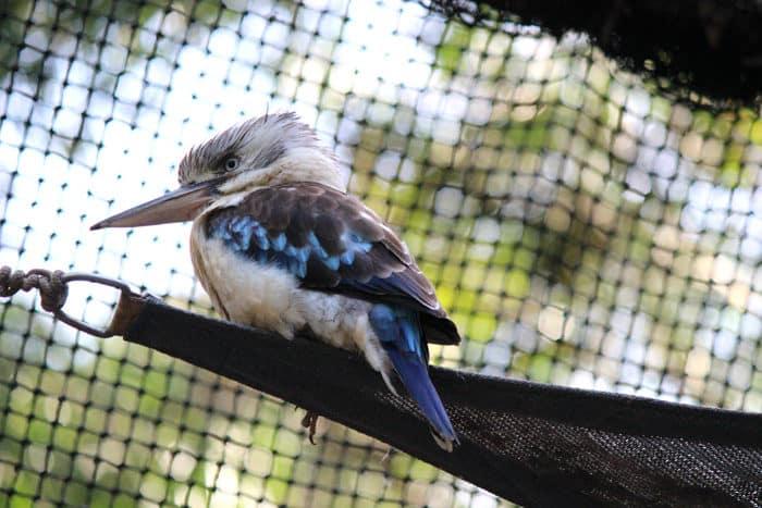 Kingfisher at Hartleys Crocodile Adventure