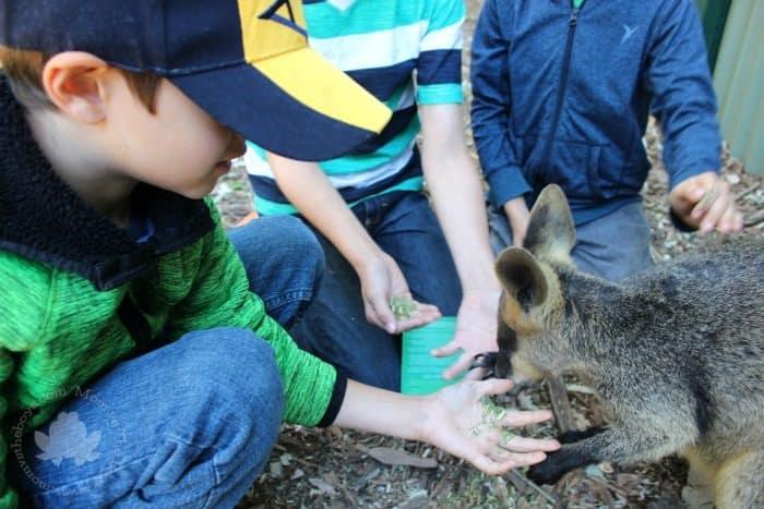 Featherdale Wildlife Park feeding Kangaroos