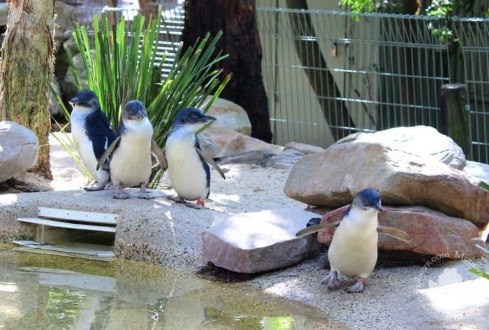Featherdale Wildlife Park - Little Penguins