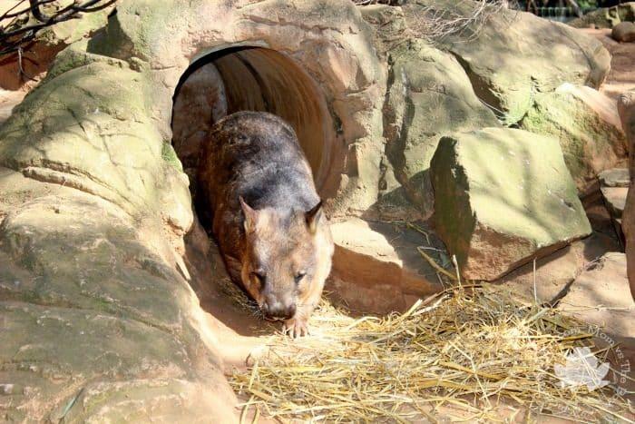 Wombat Featherdale Wildlife Park